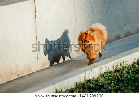 Pomeranian dog on a walk. Cute Dog outdoor. Beautiful dog #1461289100