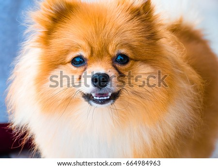 Pomeranian dog Portrait #664984963