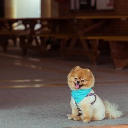 pomeranian dog sitting cute pets happy smile