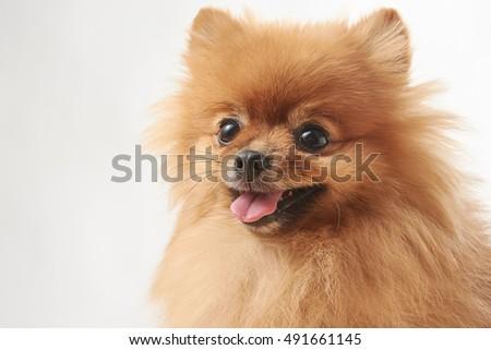 Pomeranian Dog Sitting On Wooden Surface Ez Canvas