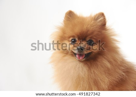 Pomeranian Dog Sitting On Wooden Table Ez Canvas