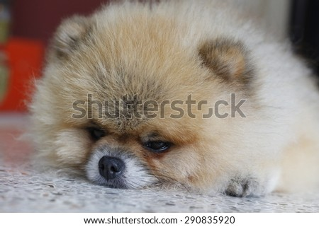 Pomeranian dog sleep