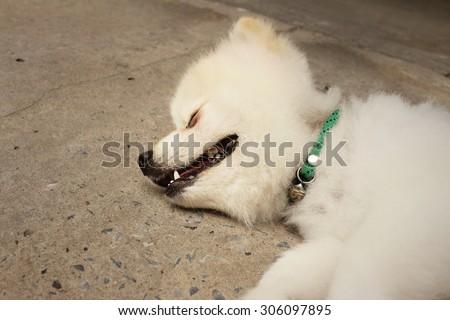 Pomeranian dog sleep on a cement background