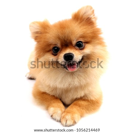 Pomeranian dog with white backdrop. #1056214469