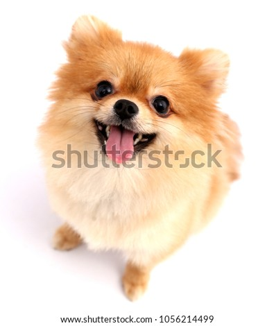 Pomeranian dog with white backdrop. #1056214499