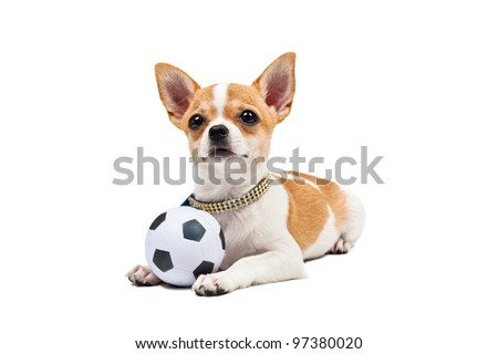 Pomeranian dog, young puppy, lies down with football, over white