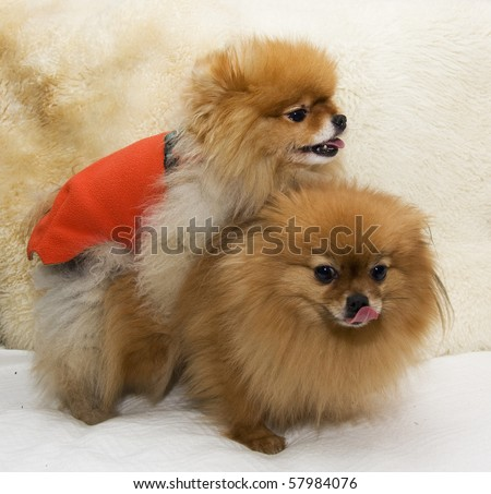 Pomeranian Dogs Mating Stock Photo 57984076 : Shutterstock