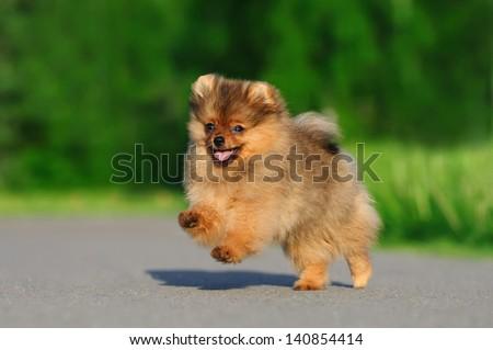 Pomeranian for a walk