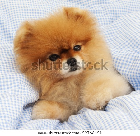 Pomeranian in bed