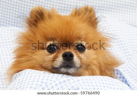 Pomeranian in bed
