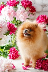 Pomeranian in peony flowers. Pomeranian dog sitting in flowers on beautiful background. Greeting card with dog