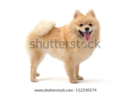 Pomeranian isolated on white