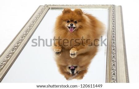 Pomeranian on a mirror - studio