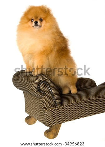 Pomeranian on miniature couch, on white background