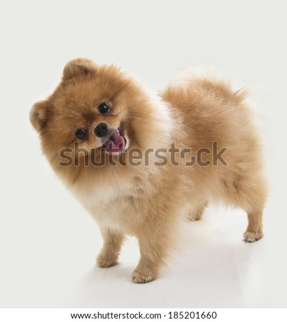 Stock Photo Pomeranian portrait. An image of a cute pomeranian puppy who is turning it's head funny.