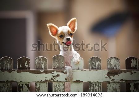pomeranian puppy dog climbing...