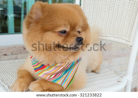 pomeranian puppy dog grooming with short hair, cute pet smiling happy