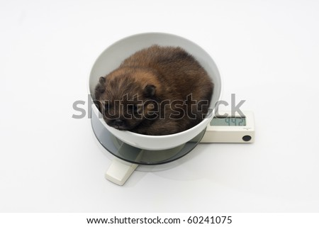 Pomeranian puppy dog in a bowl on a weight