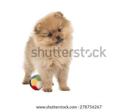 Pomeranian Puppy Dog With Ball At A White Background Ez Canvas