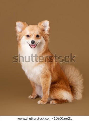 Light Brown Pomeranian