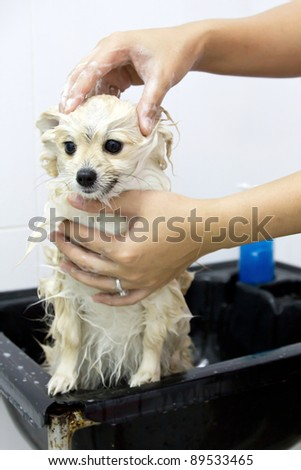 pomeranian puppy shower in bathroom