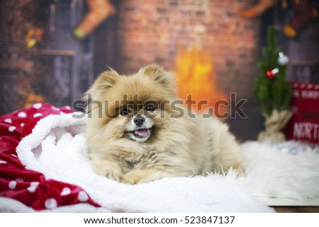 Pomeranian's Christmas Photo