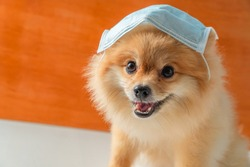 Pomeranian, small breed dogs, put on a health mask sit on a white table