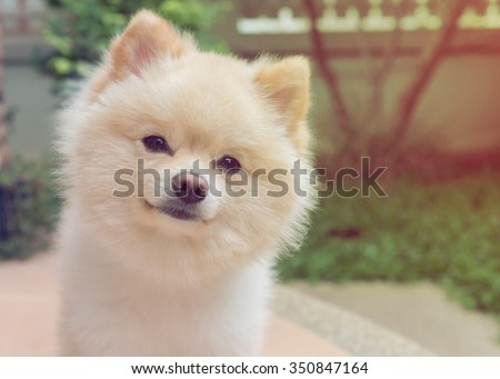 pomeranian small dog cute pets friendly in home, question face