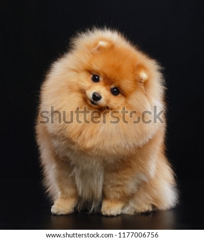 Pomeranian spitz Dog on Isolated Black Background in studio #1177006756