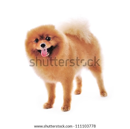 Pomeranian Spitz dog. Portrait on a white background
