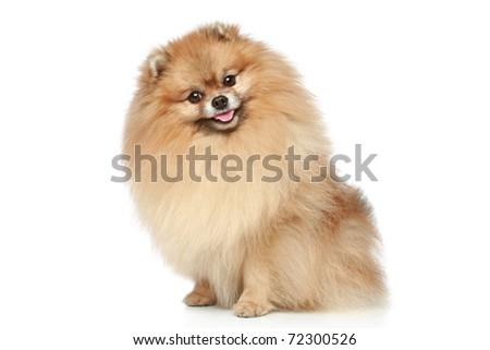 Pomeranian Spitz dog sitting on a white background