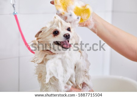 pomeranian spitz in bath before grooming, procedure of hair cutting by professional grooming master.little spitz dog get shower, dogs beauty concept Stock foto ©