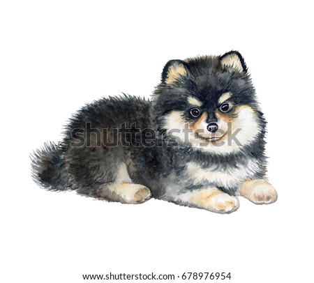 Pomeranian Spitz puppy isolated on white background. Pedigree dog black and white. Watercolor. Illustration. Template. Picture. Painted