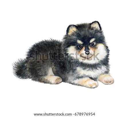 pomeranian spitz puppy isolated ...