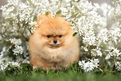 pomeranian spitz puppy portrait outdoors in white flowers