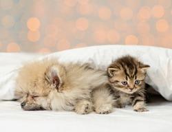 Pomeranian spitz puppy sleep with kitten under white blanket on festive background