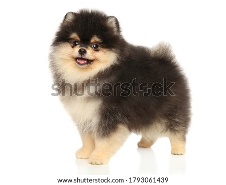 Pomeranian Spitz puppy stands in stand on a white background Stock foto ©