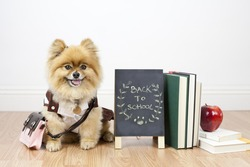Pomeranian student sitting next to books and apple with chalkboard back to school