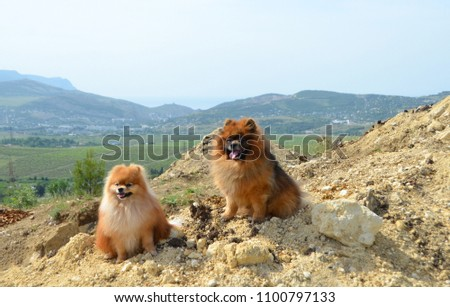 Pomeranian, two beautiful fluffy dogs sit on a mountain in the background of hills and vineyards #1100797133