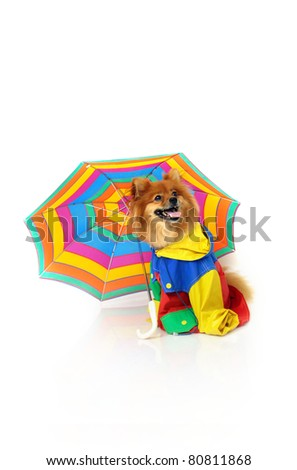 Pomeranian wears a brightly colored raincoat and sits beneath a striped umbrella.  His mouth is open and he is resting in an all white room.