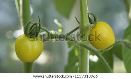 pomidor koktajlowy żółty zdrowy Zdjęcia stock ©