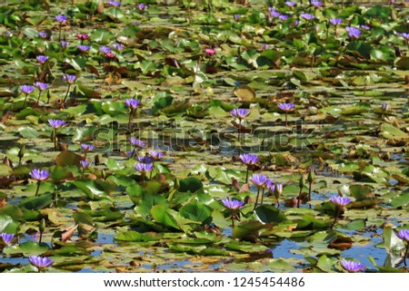 Pond Filled with Blooming Vibrant Purple and Pink Lotus Flowers, Thailand #1245454486