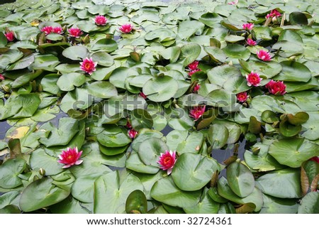 pond filled with pink waterlilies