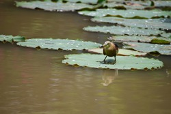 Pond heron in India Rice bird (Scientific name: Ardeola grayii) Looking for food at the pond. Ardeidae stands on a green lotus leaf with the shadow in the water.Food is shrimp, crayfish, crabs,tadpole