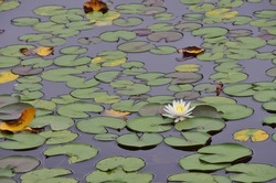 Pond of water lily flower