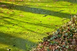 Pond scum or algae blooms in a lake.
