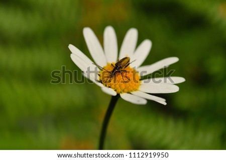 Pond skater on daisy flower macro photograph. Bug on daisy margerite white flower green meadow neutral background.
