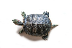 Pond slider semiaquatic turtle animal top view