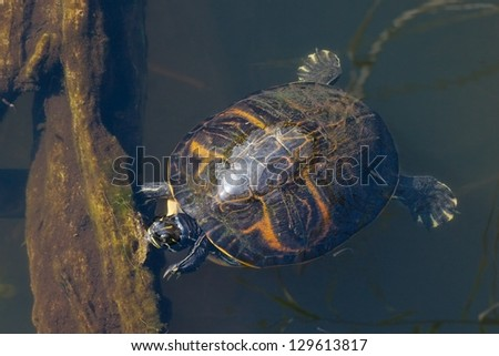 Pond Slider Turtle (Trachemys Scripta) basking in the sun trying to warm up