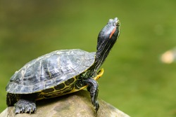 Pond Turtle Heating In The Sun On Rock In Lake Water